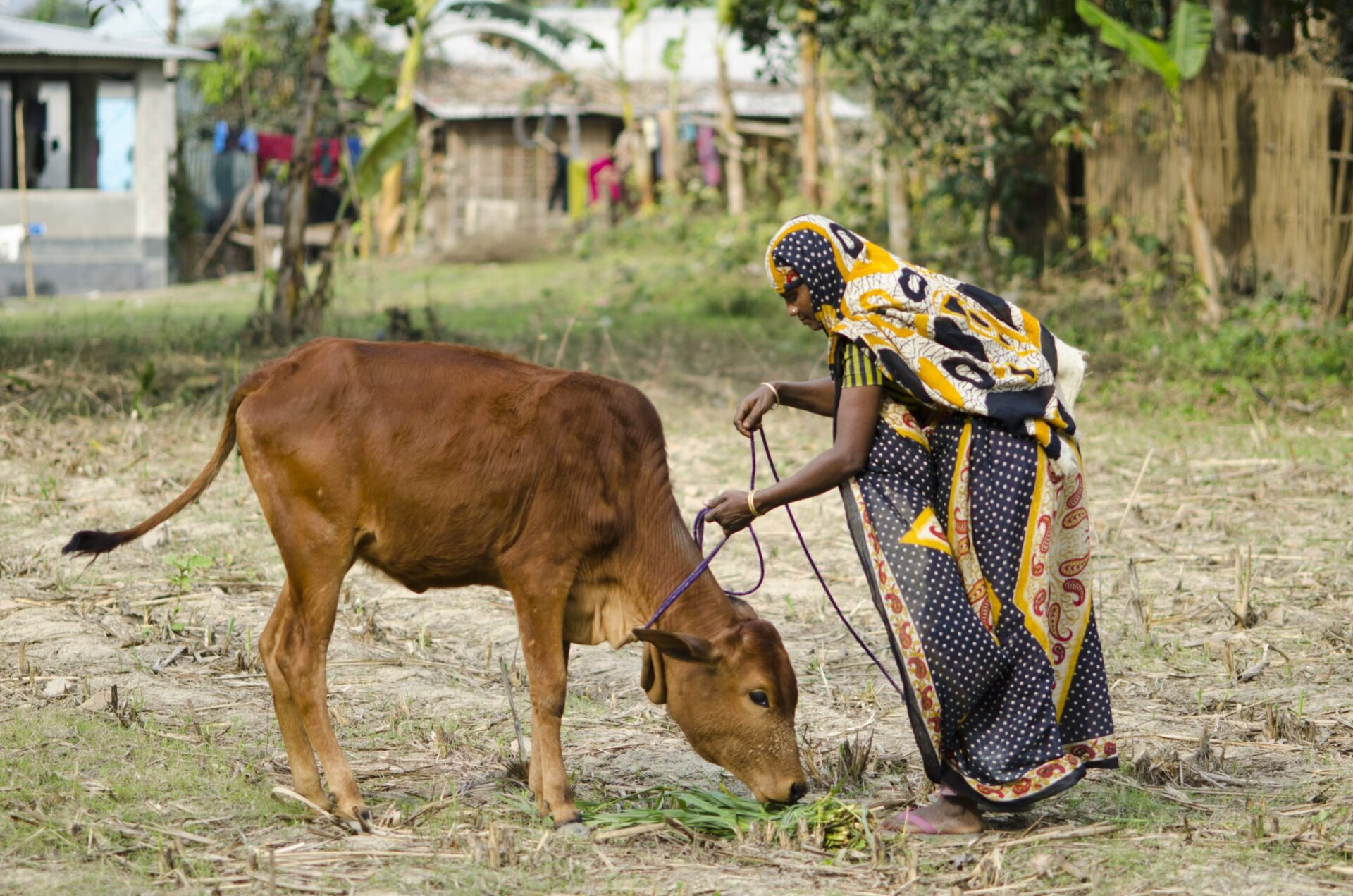 Amina tends to her livelihood asset in Bangladesh.